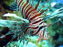 lionfish Obraz Royalty Free