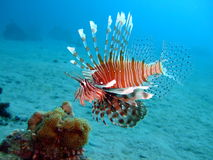 Lionfish. A lionfish in the Red Sea Stock Photography