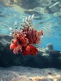 Lionfish Стоковые Фотографии RF