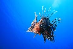 Lionfish Fotografie Stock Libere da Diritti