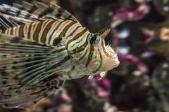 Lionfish arkivbild