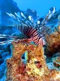 lionfish Стоковое Изображение