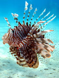 lionfish Royaltyfri Bild