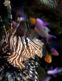 lionfish Стоковое фото RF