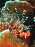 Lionfish. Silently resting on a hard coral Royalty Free Stock Image