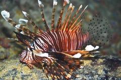 lionfish Стоковая Фотография RF