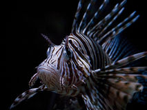Lionfish Photographie stock
