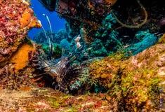 Lionfish imagens de stock royalty free