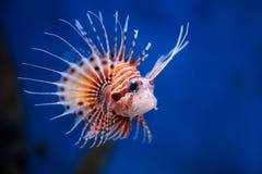 Lionfish fotografía de archivo