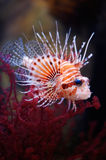 Lionfish royalty-vrije stock foto's