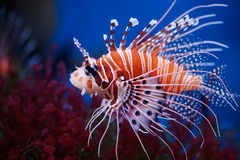 Free Lionfish Stock Images - 12944894
