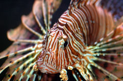 Lionfish. Marine fish called lionfish displaying colorful fins with strips of red and white Stock Image