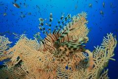 lionfish Royaltyfri Bild
