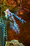 Lionfish Imagen de archivo