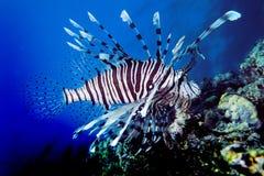 lionfish Стоковые Изображения RF