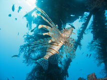 The Lionfish. Also know as the turkey fish, dragon fish and scorpion fish royalty free stock images