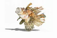 Lionfish. On isolated white background Royalty Free Stock Photography