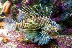 Lionfish. Colorful lionfish Royalty Free Stock Photo