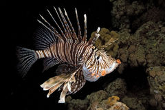 Free Lionfish Stock Image - 16571561