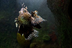 Lionfish Photo stock