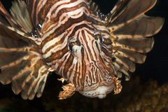 Lionfish. Seen from above, angled view Royalty Free Stock Images