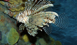 Lionfish Royalty Free Stock Photography