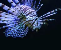 Lionfish Stock Image