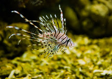 Lionfish. A beautiful lionfish in the water stock photos