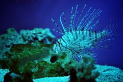 Lionfish Imagen de archivo libre de regalías