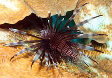Lionfish Images stock