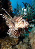 lionfish royaltyfria bilder