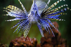 Lionfish Images libres de droits