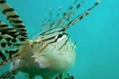 lionfish Στοκ Φωτογραφίες