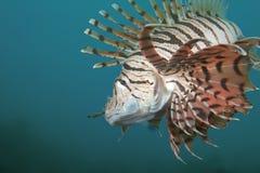 lionfish Στοκ Εικόνες