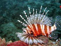 lionfish Obrazy Stock