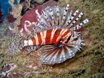Lionfish. Closeup of tropical lionfish swimming underwater Royalty Free Stock Photo