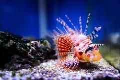 Lionfish Stock Photography