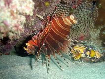 Lionfish. Fish Stock Images