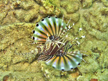 Lionfish. Elevated side view of lionfish swimming underwater Stock Photography