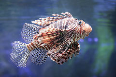 Lionfish. Royalty Free Stock Photos
