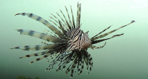 Lionfish Royalty Free Stock Photos
