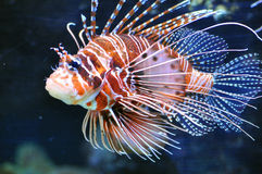 Lionfish Royalty Free Stock Image