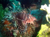 Lionfish Royalty-vrije Stock Foto