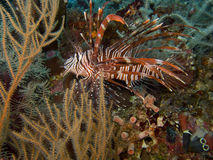 Lionfish Stockbild
