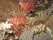 Lionfish1 Photographie stock libre de droits