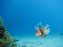 Lionfish. A lionfish underwater, shot in the Red Sea royalty free stock photos