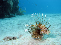 Lionfish. A lionfish uw in red sea stock photos