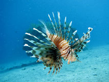 Lionfish. A lionfish underwater, shot in the Red Sea stock images