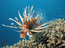 Lionfish. A lionfish shot in the redsea stock image
