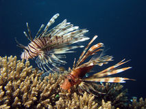 Lionfish. Two lionfish amongst coral. red sea israel royalty free stock photo